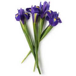 Fresh Iris Extract