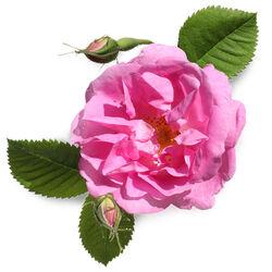 Fresh Rose Petals Infusion (Rosa Centifolia)