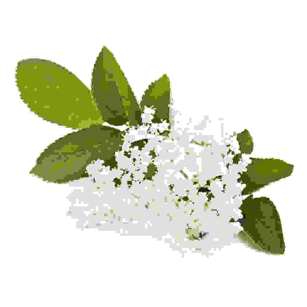 Fleurs de sureau