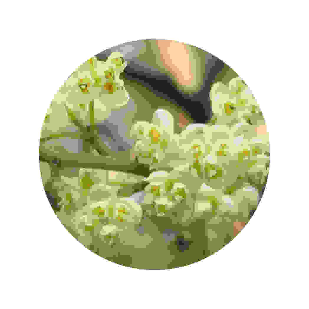 Huile essentielle de litsée citronnée