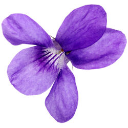 Absolu de feuilles de violette