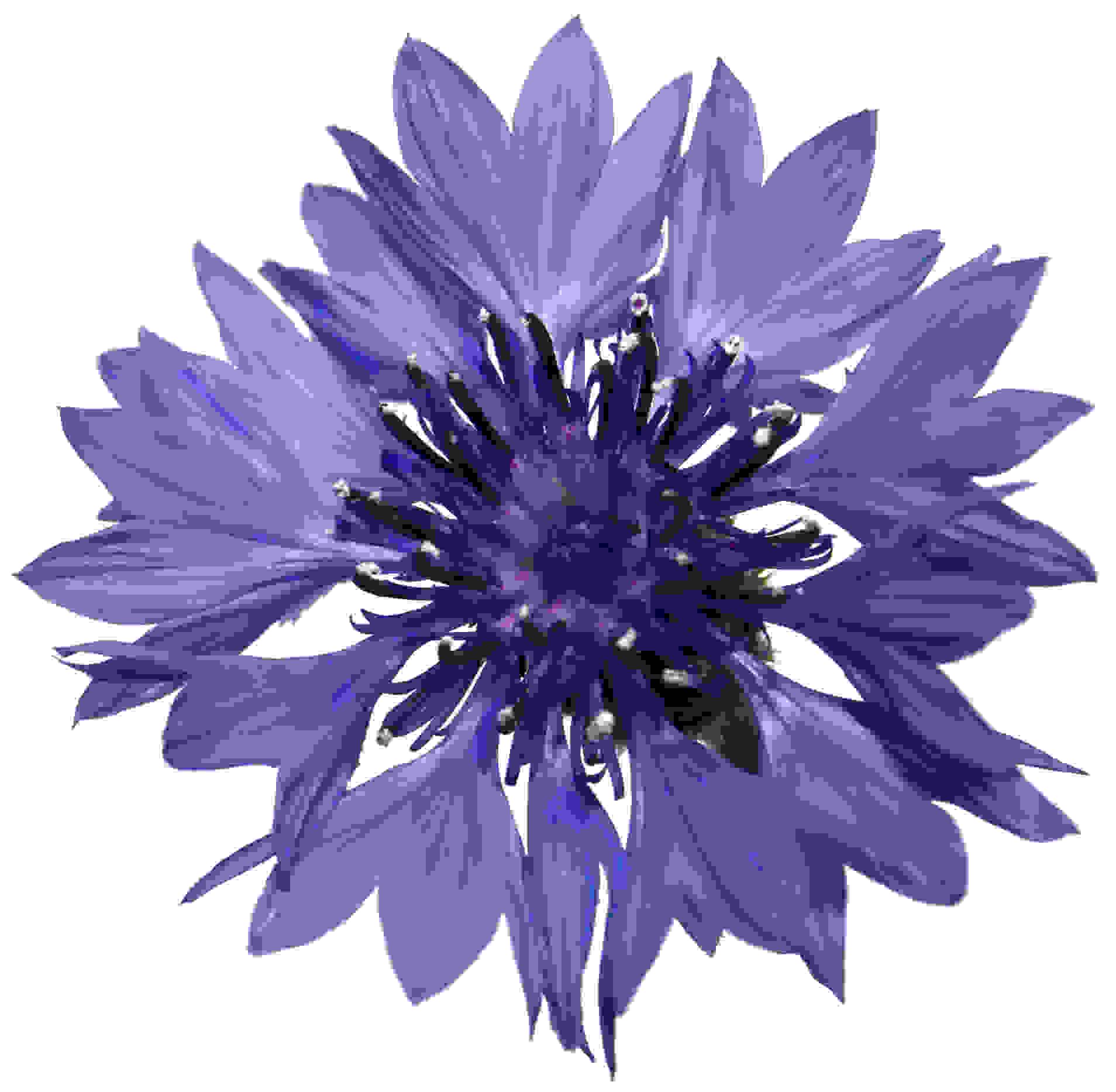 Centaurées bleues