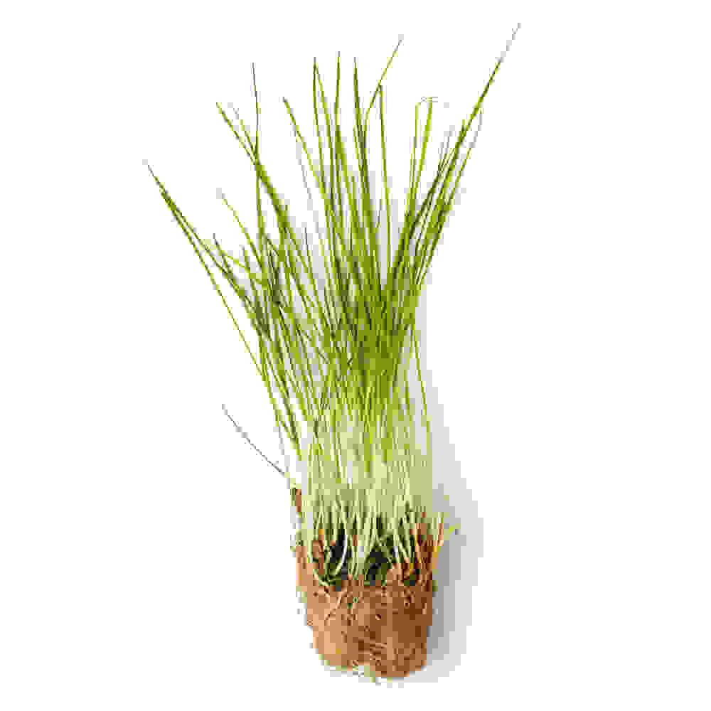 Fresh Wheatgrass Infusion (Triticum Vulgare)