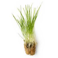 Infusion d'herbe de blé fraîche (Triticum Vulgare)