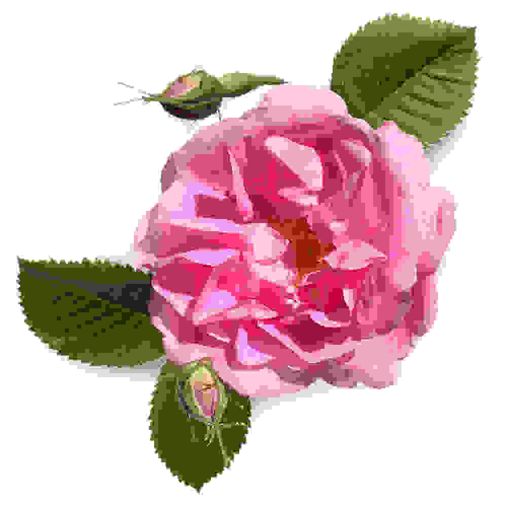 Cire de rose