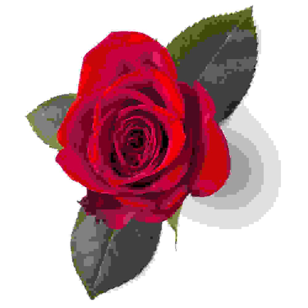 Infusion de pétales de rose