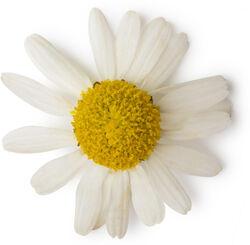 Fleur de camomille allemande