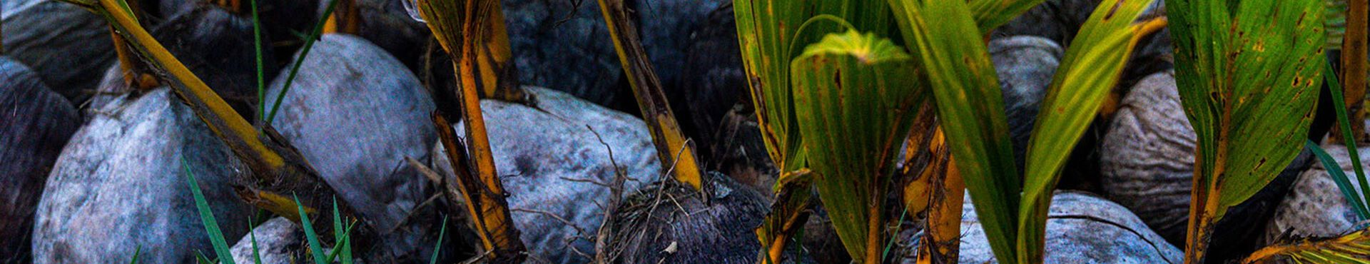 Banner - La reforestation au Guatemala