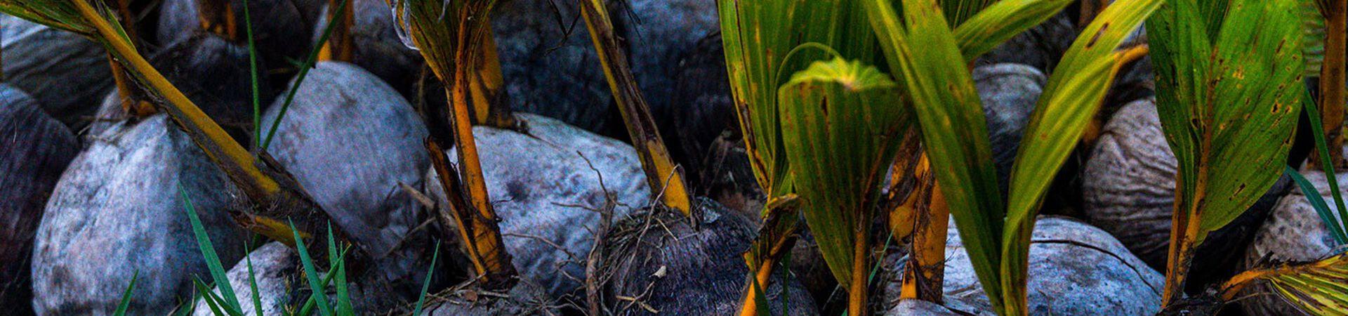 Banner - Revitalizing through Reforestation in Guatemala