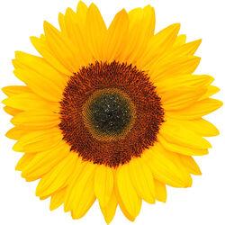 Sunflower Wax