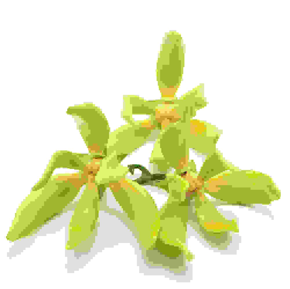 Cananga Oil (Cananga odorata)