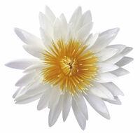 Infusion de cynorhodon, de fleur de lotus et de lys tigré.