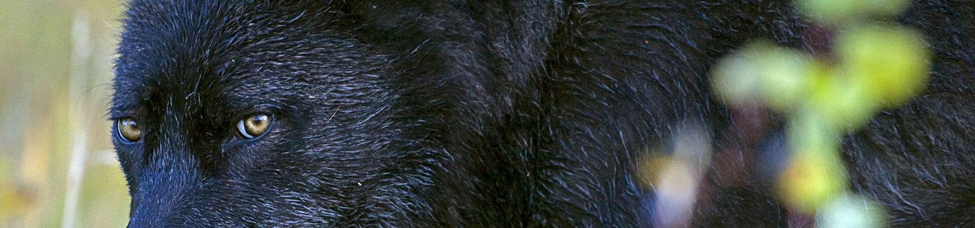 Banner - Wolf Awareness Inc.