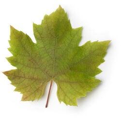 Infusion de feuilles de vigne