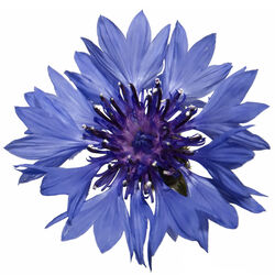 Pétales de centaurées bleues