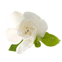 Gardenia Extract