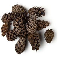 Siberian Pine Oil (Pinus)