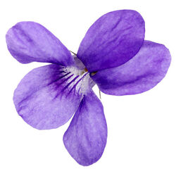 Violet Leaf Oil (Viola odorata)