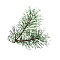 Pine Absolute