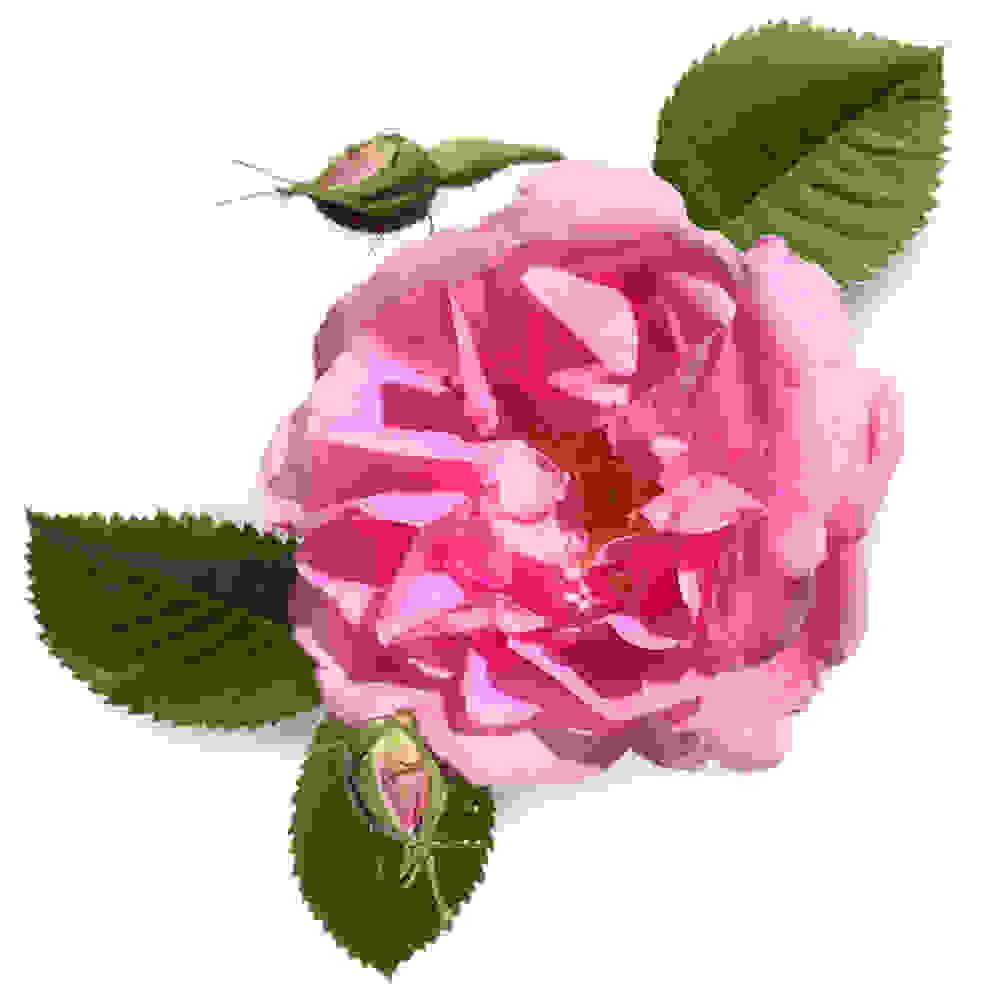 absolu de rose biologique