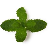 Infusion de menthe fraîche (Mentha Piperita)