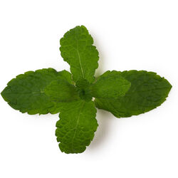Fresh Mint Infusion (Mentha Piperita)