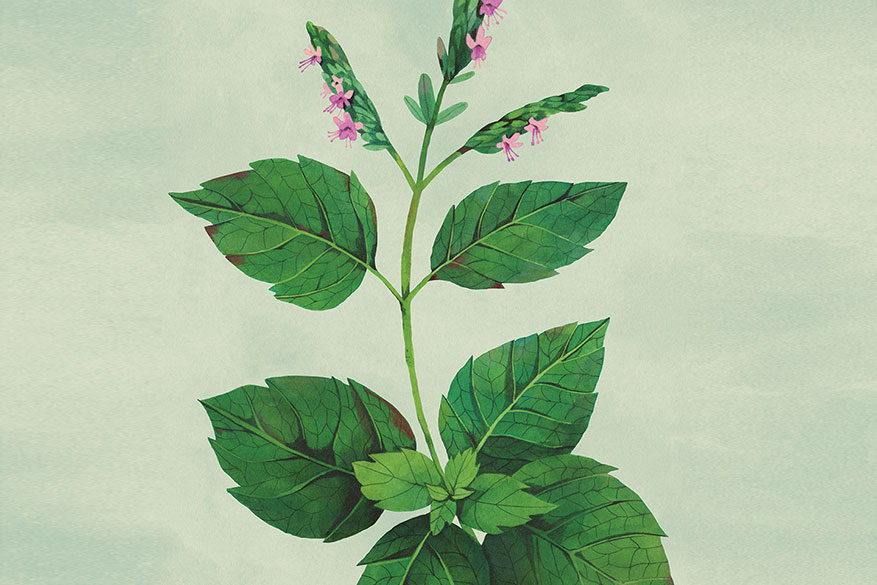 Patchouli is a bushy herb with small flowers