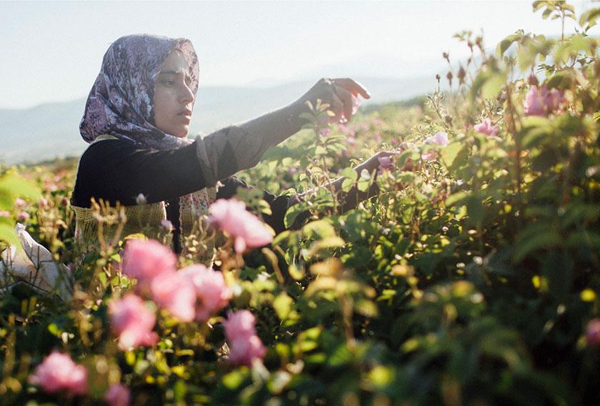 Woman picking rose petals